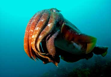 Image: Giant Australian Cuttlefish
